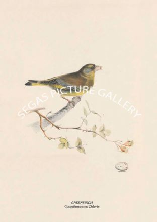 GREENFINCH - Coccothraustes Chloris